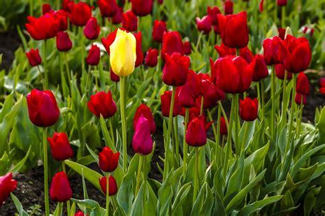 tulipani vaso come coltivare i tulipani non sprecare