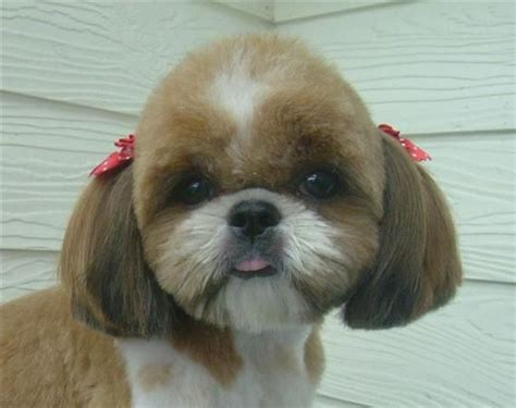 shichons haircut repinned shih tzu hairstyle dogs pinterest pets