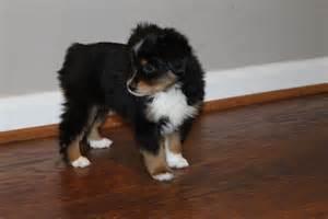 4 week old australian shepherd puppy corky alangus mini aussies a dog blog