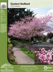 eastern redbud tree facts jpg 618 215 826 gardening