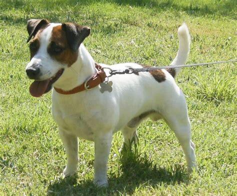 imagenes perros jack russell terrier ficha de don chichi un perro de quiquelin perros com