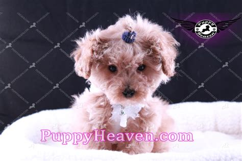 puppies los angeles poodle puppies los angeles dogs our friends photo