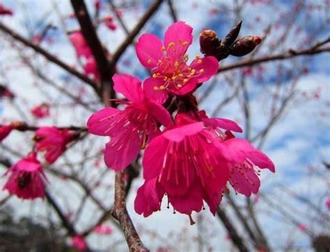 prunus da fiore pruno da fiore prunus prunus alberi pruno da fiore