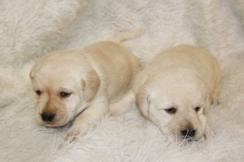 ivory lab puppies for sale in mn labrador retriever puppies for sale minnesota breeder fox ivory black
