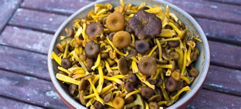cucinare funghi finferli come cucinare finferle cucinarefunghi