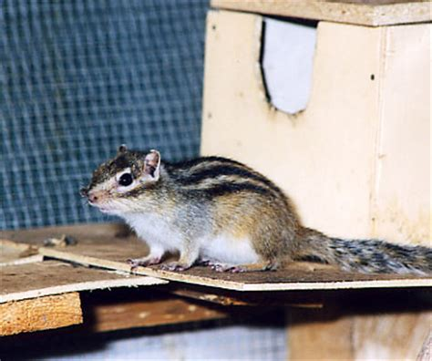 gabbia per scoiattoli giapponesi scoiattoli