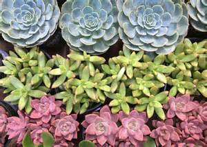 7 cool succulents for drought tolerant containers garden