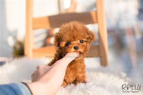 teacup puppies price sold to alhemeiri poodle f rolly teacup puppies