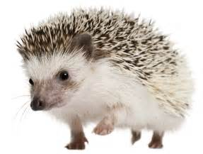 hedgehog as a pet cost images