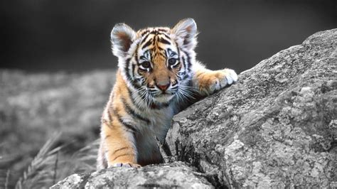 tiger backgrounds baby white tiger wallpapers wallpaper cave