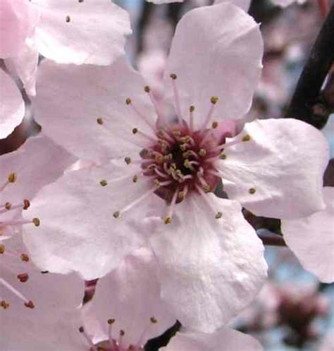 cherry plum fiori di bach cherry plum fiori di bach cosa 232 e a cosa serve cherry