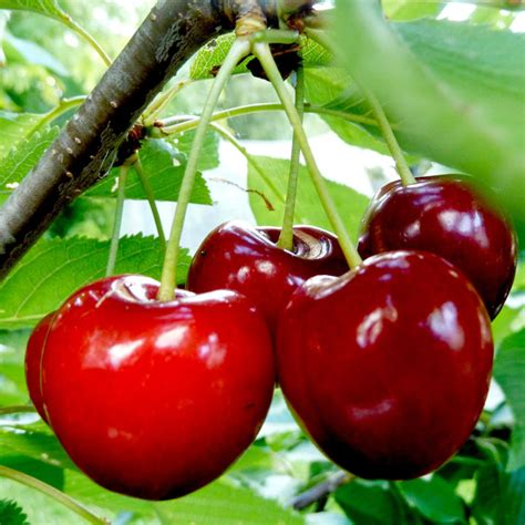 All About Cherries by Gourmet Fruit Tree Cherry All Fruit Trees Fruit