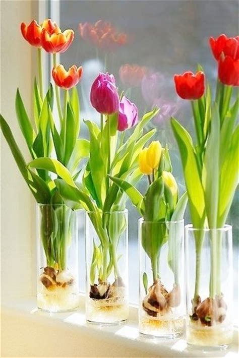 forcing tulip bulbs forcing tulips garden pinterest