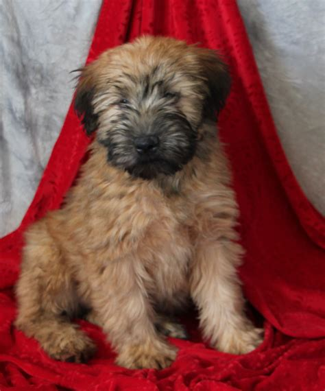 non shedding wheaten terrier puppies friendly loving