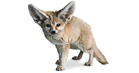Fennec Fox Facts   What Do Fennec Foxes Eat   DK Find Out