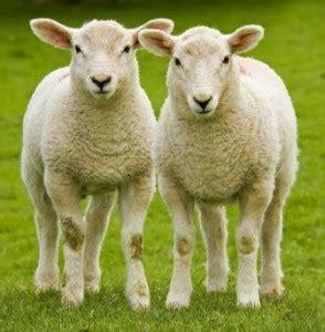 imagenes animadas de ovejas chicos 187 las ovejas