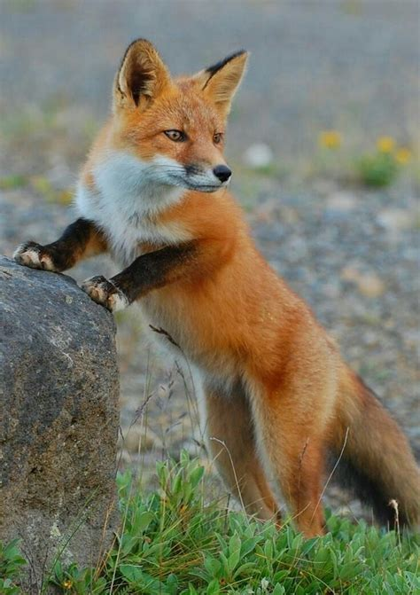 best fox pictures 1656 best fox images on fox animals and foxes
