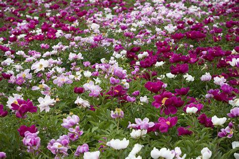 Flowers Garden Image Free Photo Peony Flowers Flowers Free Image On Pixabay 1138053