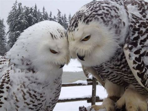owl lovers snowy owl love owls pinterest