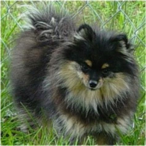 pomeranian rescue alabama pomeranian breeders in the usa and canada freedoglistings page 6
