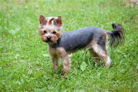 potty yorkies yorkie potty guide to house terriers yorkshireterrierguide