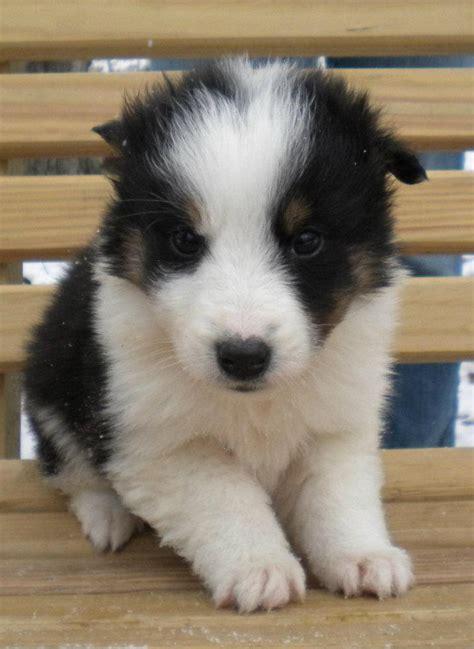 scotch collie puppies scotch collie scottish collie info temperament puppies pictures