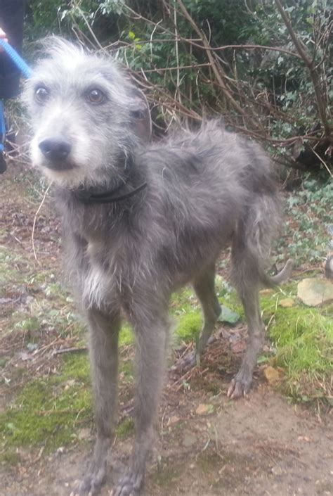 lurcher dogs rescue greengrass lurcher peterborough cambridgeshire pets4homes