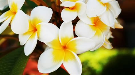 wallpaper flowers images flowers wallpapers frangipani flowers wallpapers