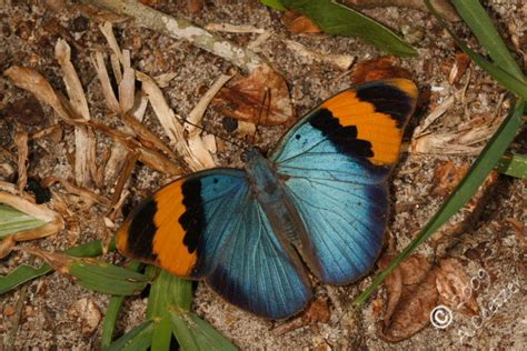 17152 All Butterfly Sml sareptiles view topic zululand trip