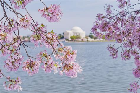 cherry tree events solutions p ltd 5 great spots to see cherry trees in washington dc