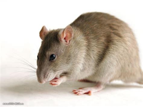 gambar tikus apick aw0x z