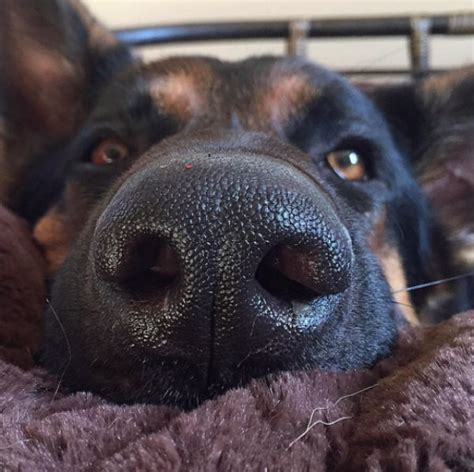nose puppy my s nose is always is something wrong barkpost