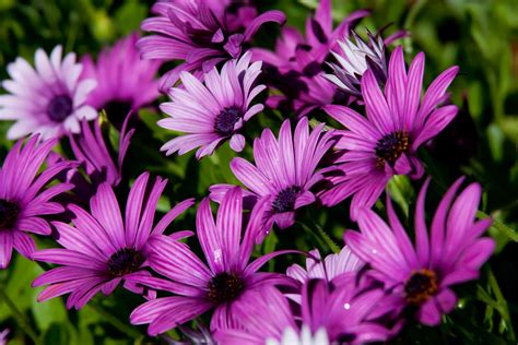 Facts About Daisy Flowers african daisies in the sun fables and flora