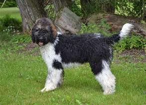 puppies for sale ontario bernedoodle puppies for sale