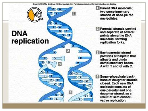 dna replication bio ii