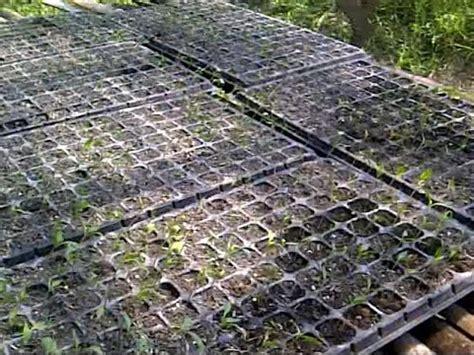 Tray Untuk Semai penyemaian dan pembibitan tanaman menggunakan tray semai