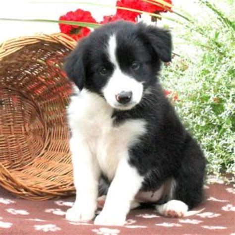 border collie mix puppies for sale in pa border collie mix puppy litters for sale in hoobly classifieds