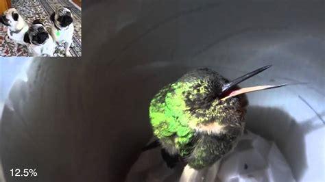 sleeping hummingbird sleeping hummingbird quot snores quot in peru