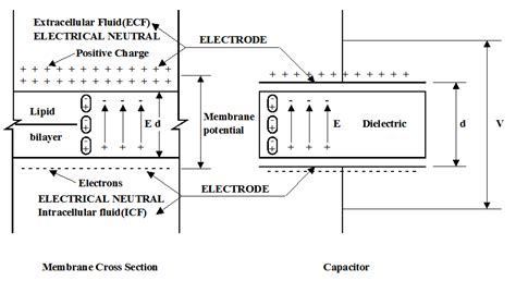 biological electrical resistor the functions of electrical activity of the