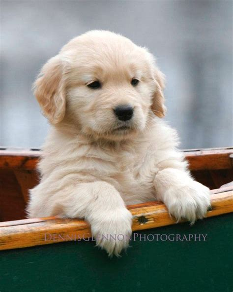 canoe puppies golden retriever puppy in canoe baby boat ride professional p