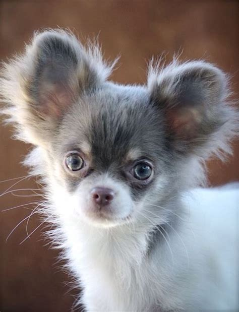 haired pomeranian pomeranian or haired chihuahua puppy wanted tamworth staffordshire pets4homes