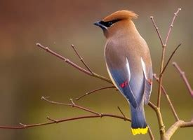 cedar waxwing, identification, all about birds cornell