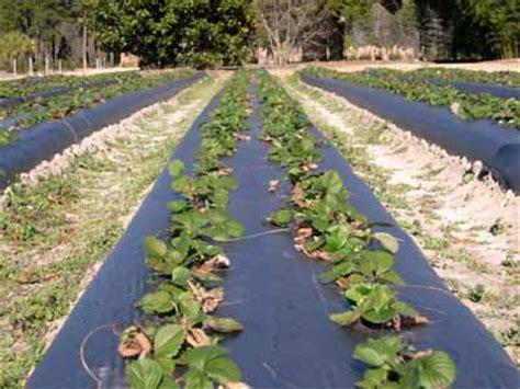 dailey method hill strawberry fragaria x ananassa fruit crops