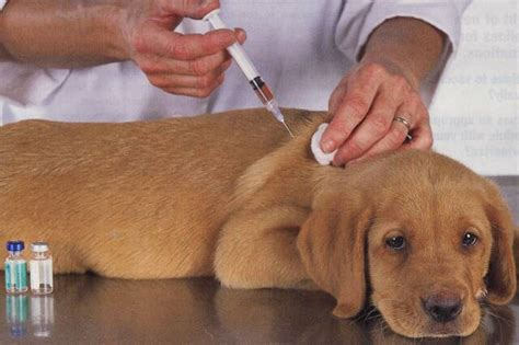 getting a puppy annual vaccination dangers doglistener