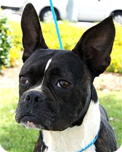 pug rescue south carolina boston terrier rescue of augusta south carolina breeds picture
