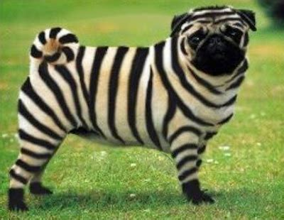 different types of pugs new types of pugs released including gmo zebra pug