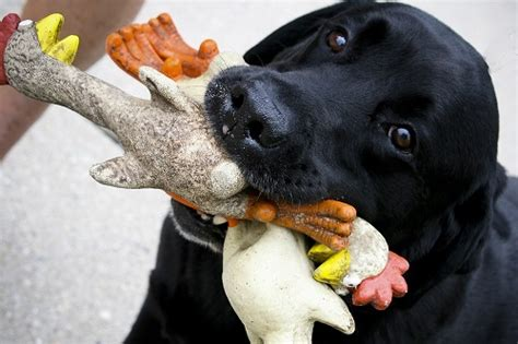 best chew toys for lab puppies best chew toys for big chewers homeward bound pet care