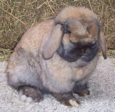 Hal Yang Ditulis Di Lop Coklat by Artikel Tentang Jenis Kelinci Tabos Rabbit