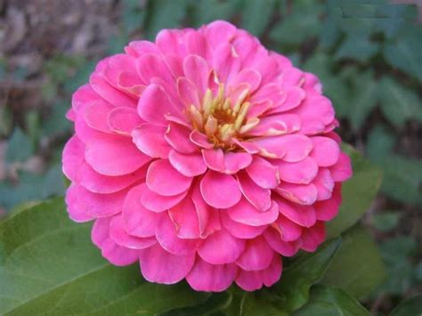 pictures of flowers flower picture zinnia flower