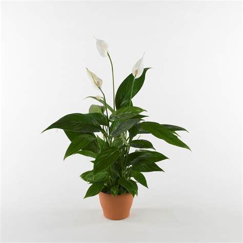 Piante Appartamento Ombra spatifillo malato piante da interno spatifillo malattie